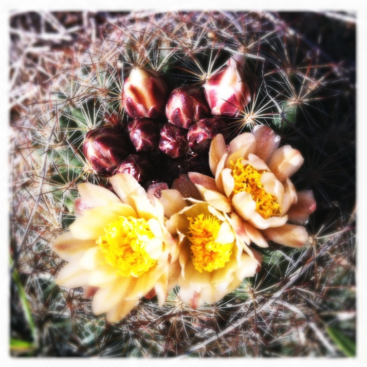 The first wild cactus bloomed on our first walk to the rim.