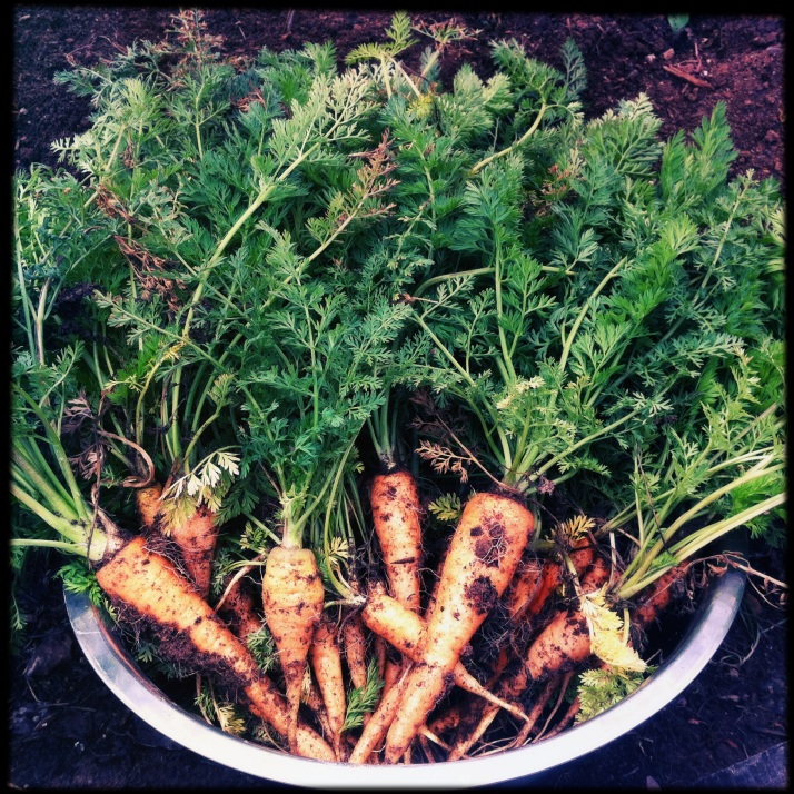 Winter carrots from the tunnel have all been picked and processed into delicious carrot~ginger soup.