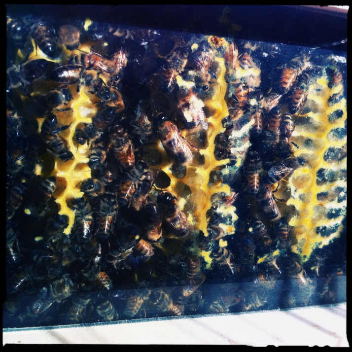 And the bees continue to thrive in their lightened hive, while my relationship with them improves daily.