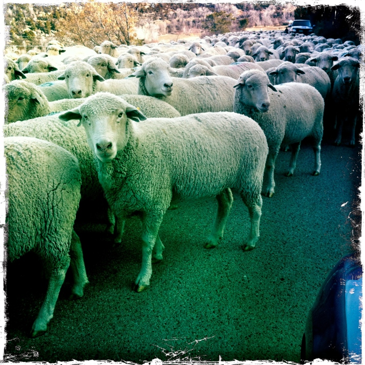 My favorite kind. Of traffic jam. Slowly plodding sheep, fast efficient dogs, Basque shepherds.