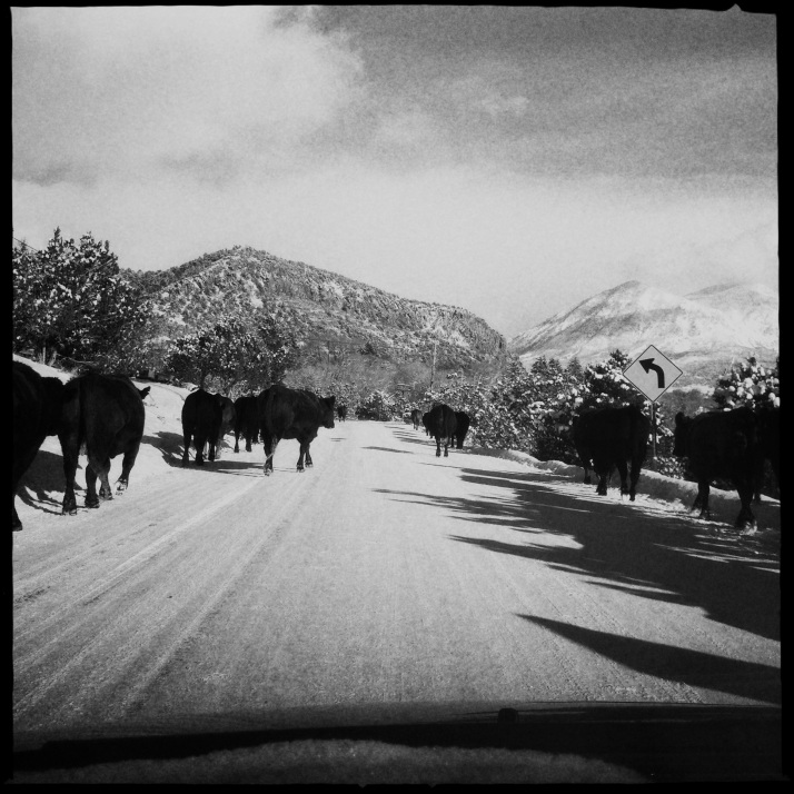 Cattle drive into Crawford, last Friday.