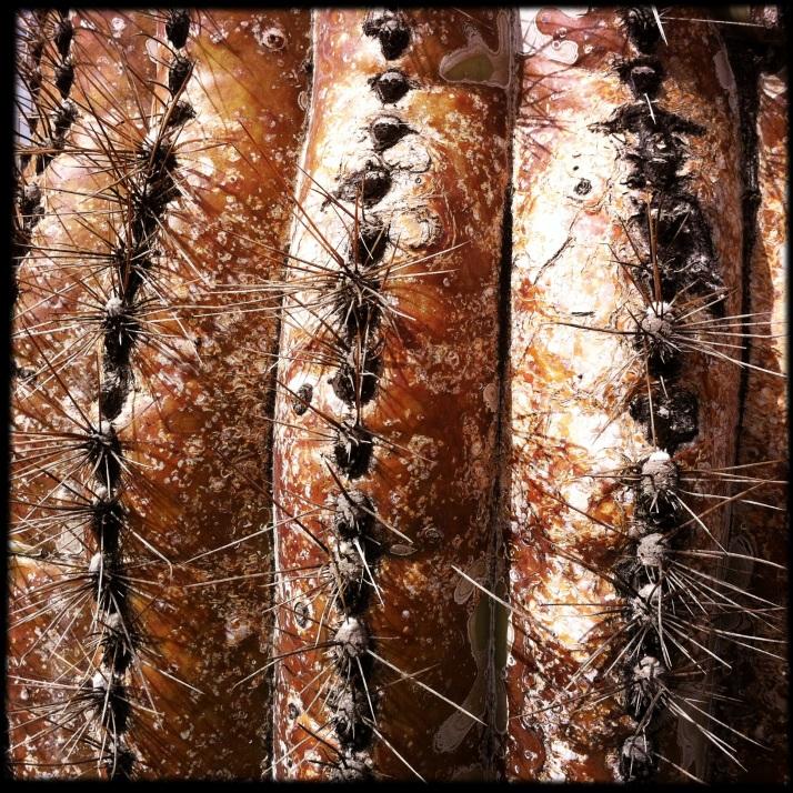Ancient ribs of the saguaro cactus.