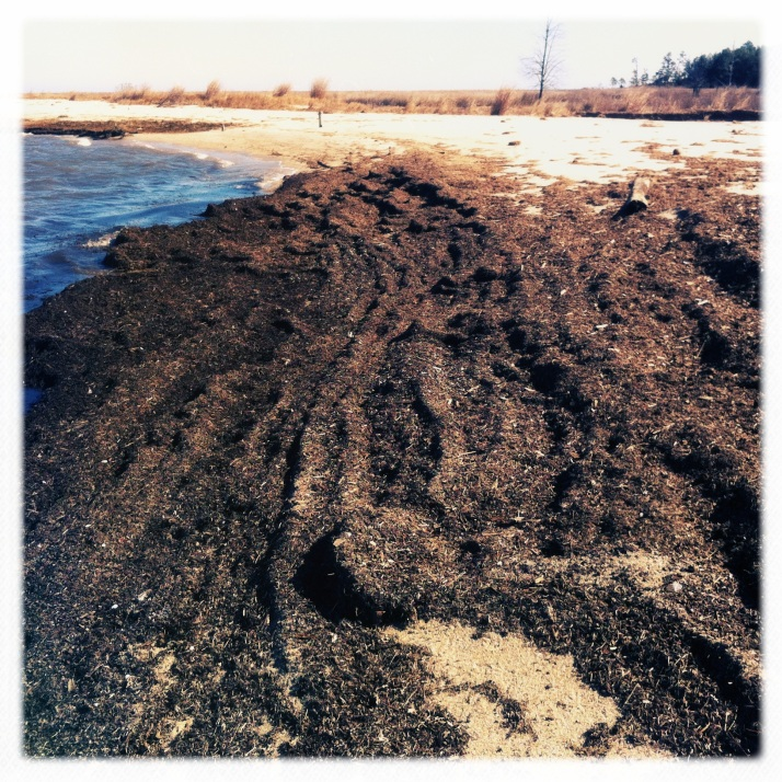 The tidal duff that is usually scattered in streaks has piled up a foot deep in the first inlet...