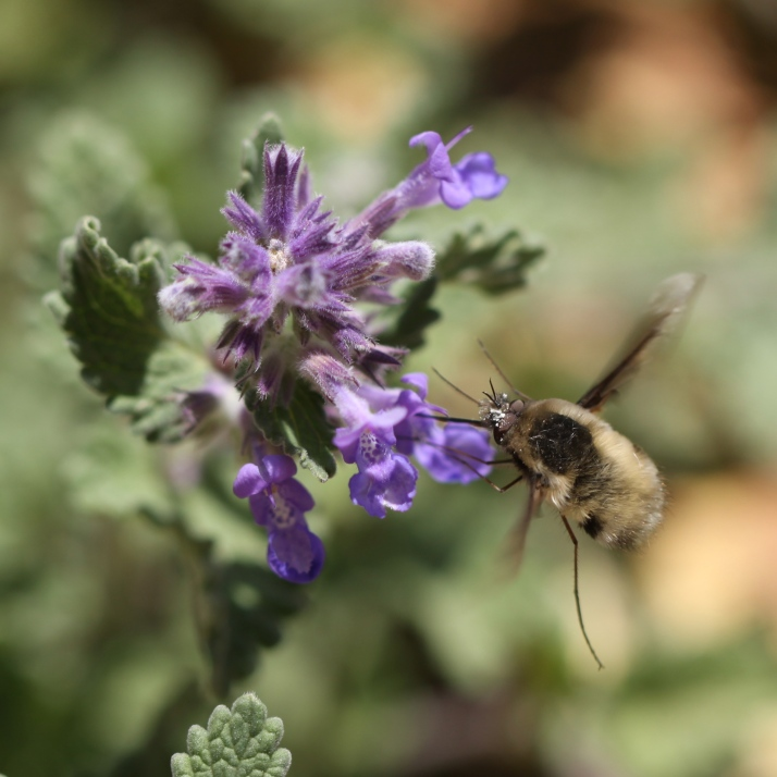 Nepeta is ripe and buzzing with bees, in full and flagrant bloom all over the yard. Honeybees as well as natives like this funny little creature that looks like a cross between a bee and a mosquito.