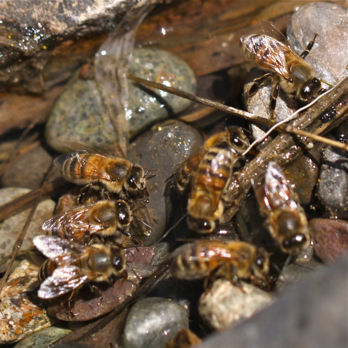 Bees drinking at the pond congregate in one specific shallow place, buzzing in and out and filling up.