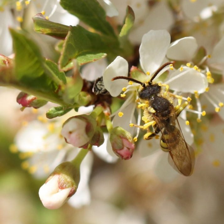 Wasp at the western sand cherry, Prunus besseyi Pawnee Buttes, last week.