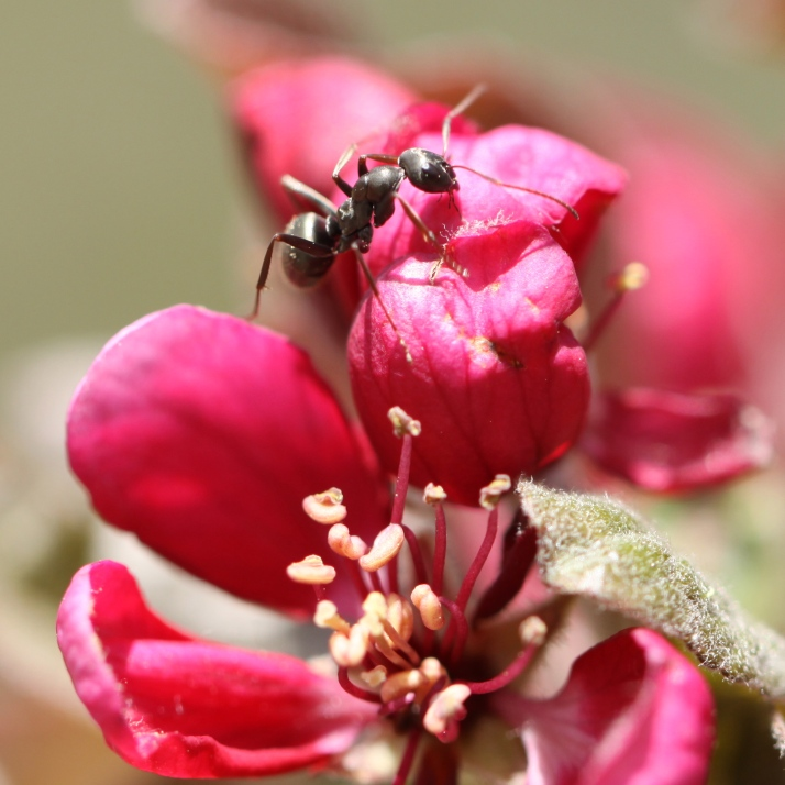 Ant on crabapple