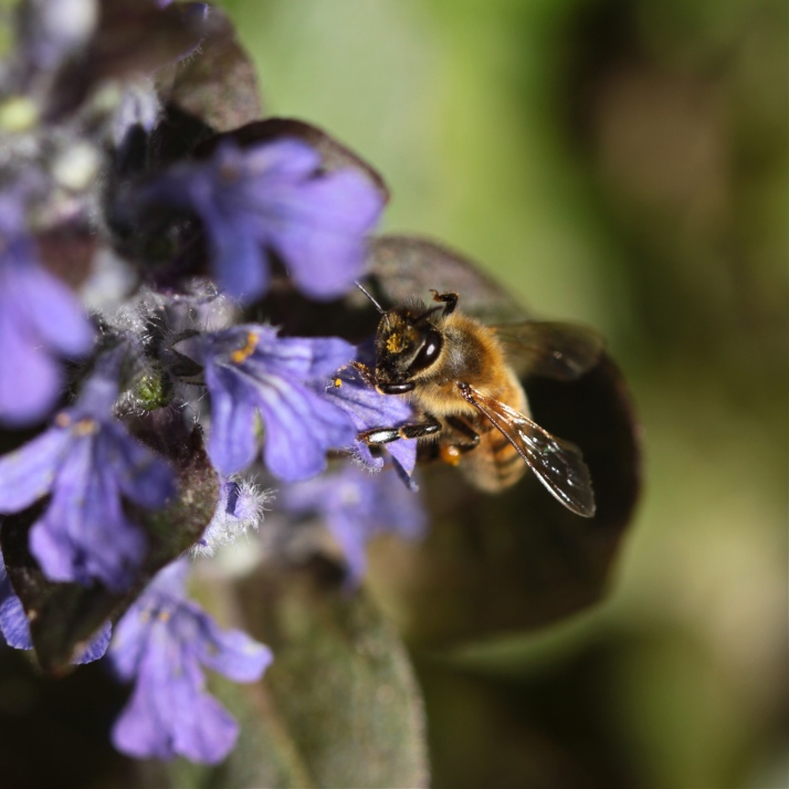 And now the Ajuga blooms profusely at the end of the pond, and the honeybees are there too.