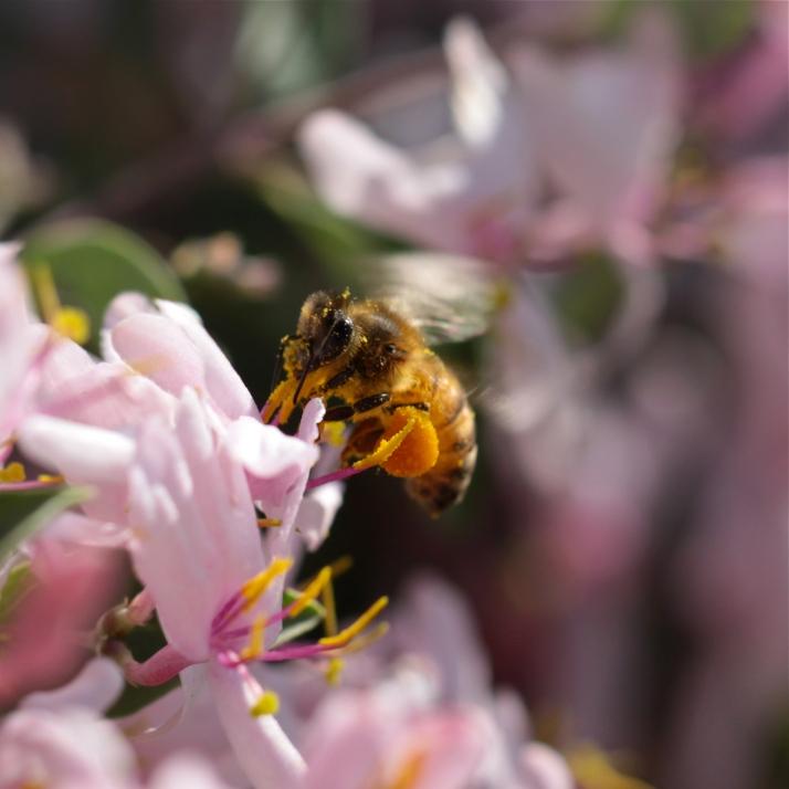 Pollen Pants 13 enjoys a delicate blossom on blueleaf honeysuckle, Lonicera korolkowii