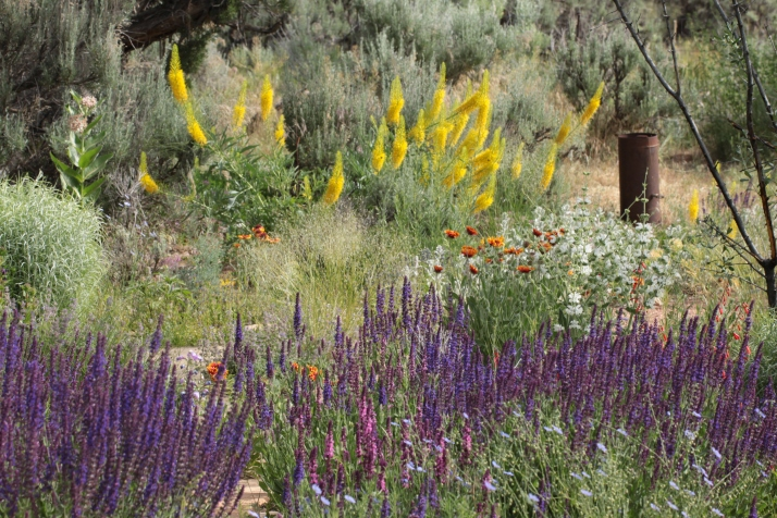 Prince's plume (Stanleya pinnata, or Stanley's Piñata Rosie called it) waves brilliant yellow behind purple and pink salvia, firecracker penstemon, blue flax, gallardia, silver sage, and milkweed.