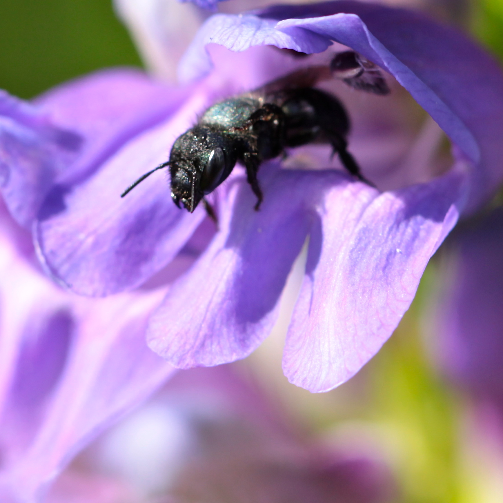 All kinds of bugs disappear into the corollas of penstemon strictus, then either turn around to leave...
