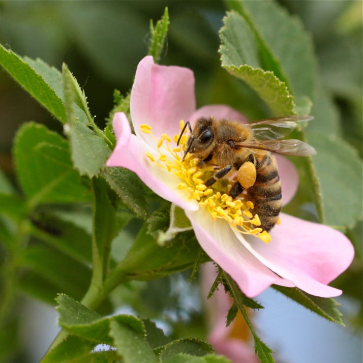 Rose bee.