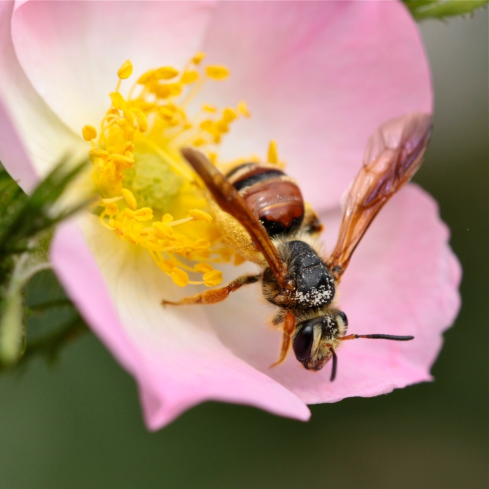 Though I couldn't catch the bumblebee on the rose, this wasp cooperated.