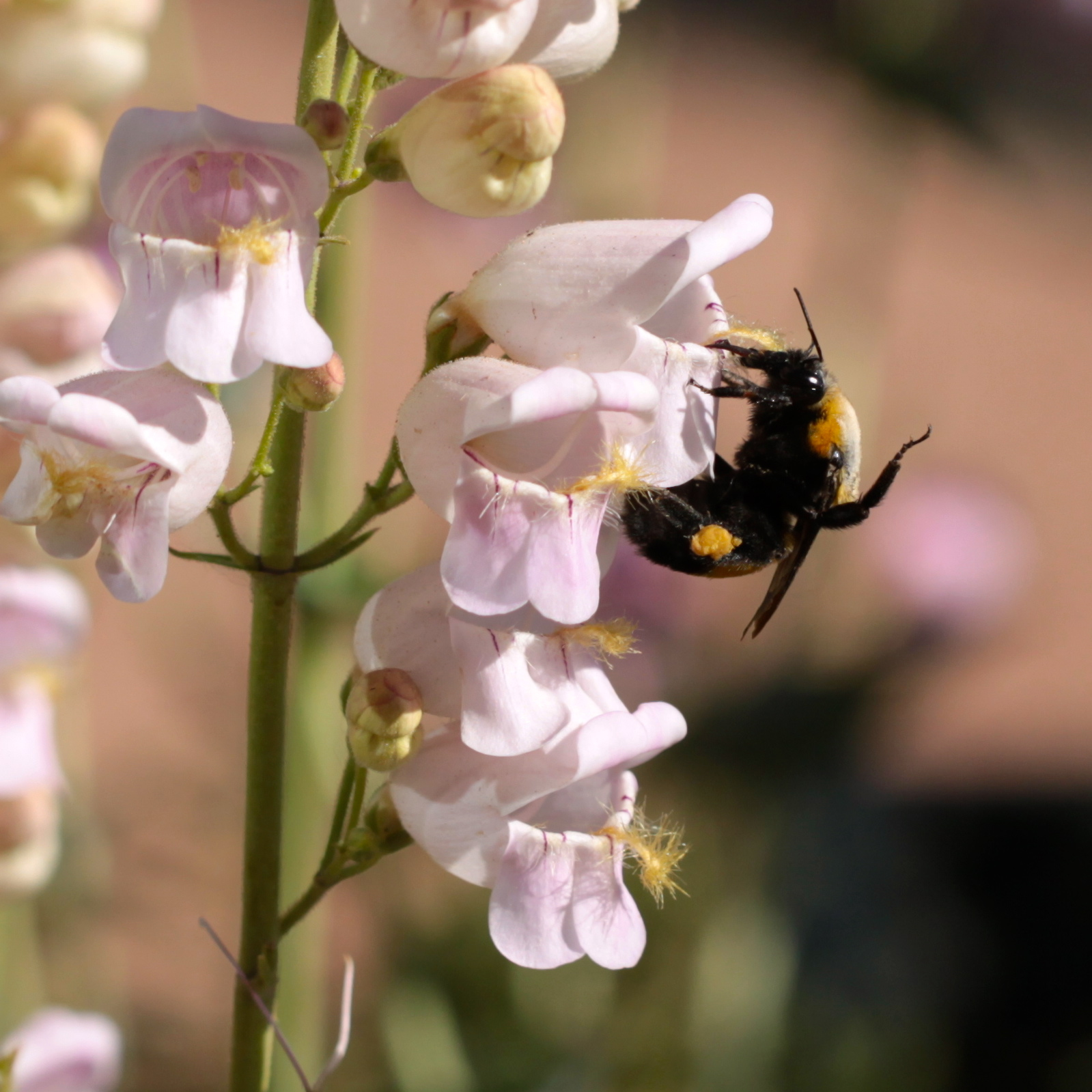 ...and a few days later on the Penstemon palmeri...