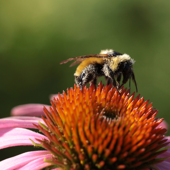 Echinacea opened and bumblebees came.