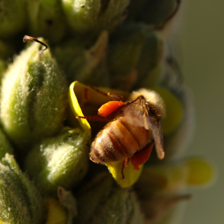 Mullein shot up its neverending flower stalk and honeybees came.