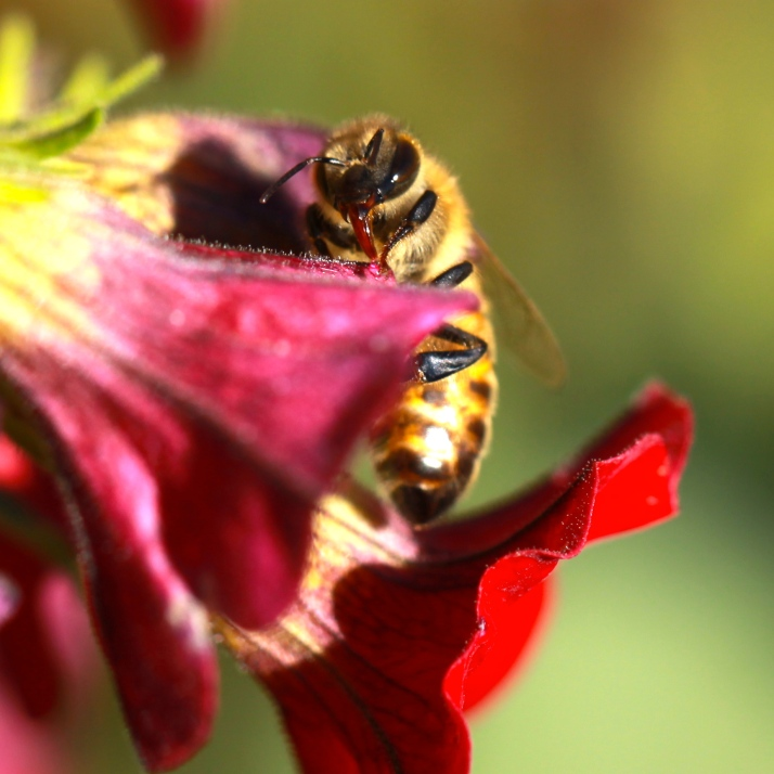 Honeybee sipping raindrops, I think, from a hanging basket; that, or the fading flower is dripping nectar.