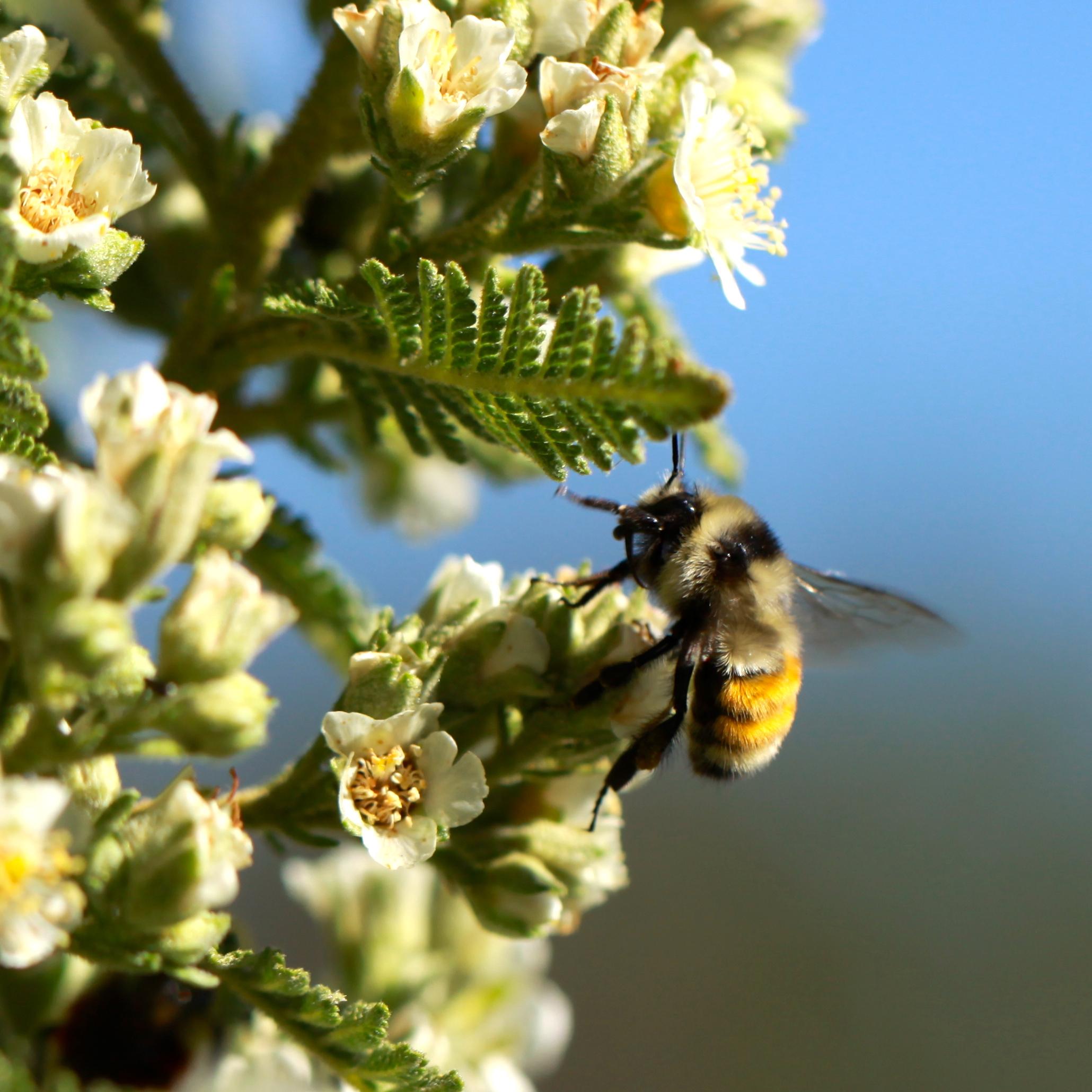 Another bumblebee, I think Bombus huntii.