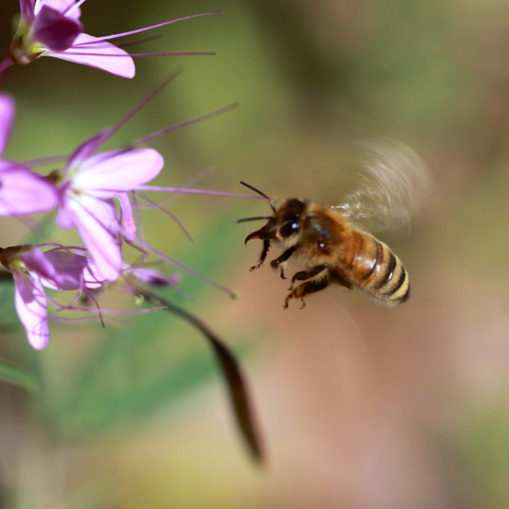 And finally another honeybee, who can't keep her tongue in her mouth while flying.