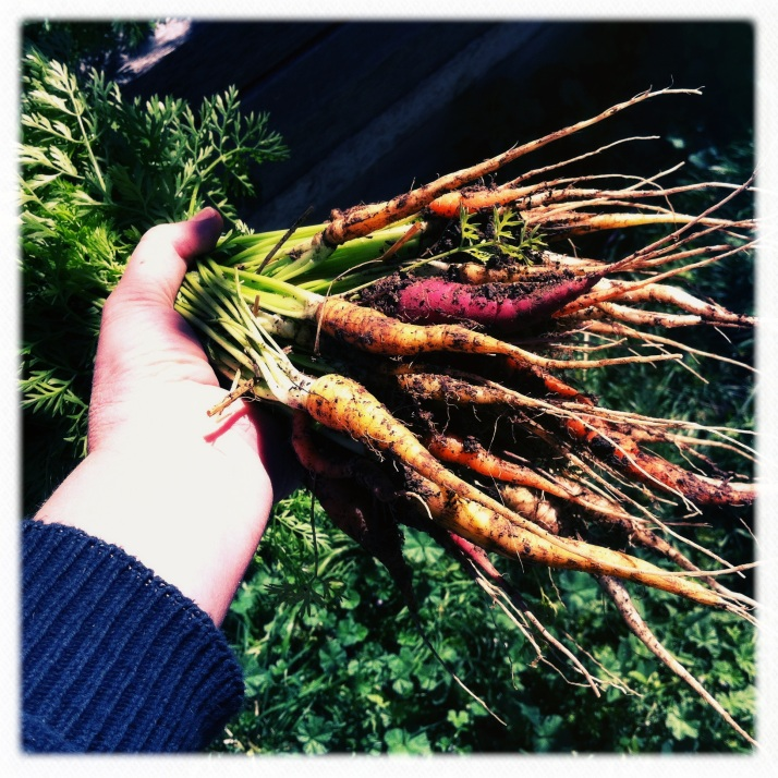 First harvest of fall carrots, a rainbow mix.