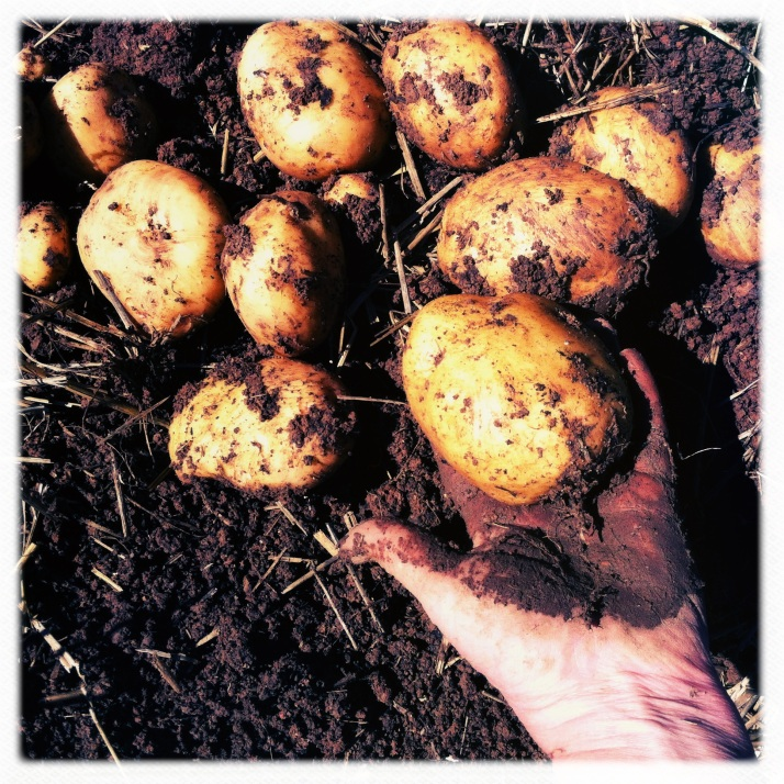 The sum total of my Yukon Gold crop; ten plants each produced only a couple of potatoes.