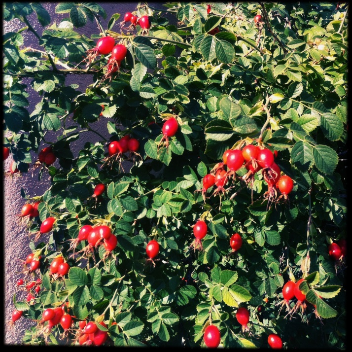 Yesterday I brought in eight cups of rose hips off the wild pink rose, with grand plans of making rose hip jelly.