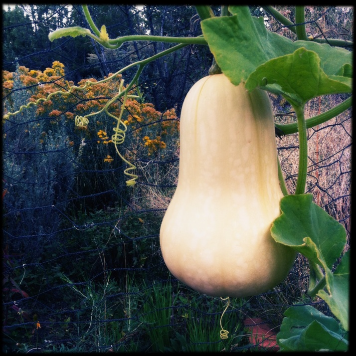Butternut squash on the vine. After a light freeze to sweeten them up, I harvested two that came from this vine, and one other. Many of these vegetables started out in Ruth's greenhouse, and she generously offered starts around the community.