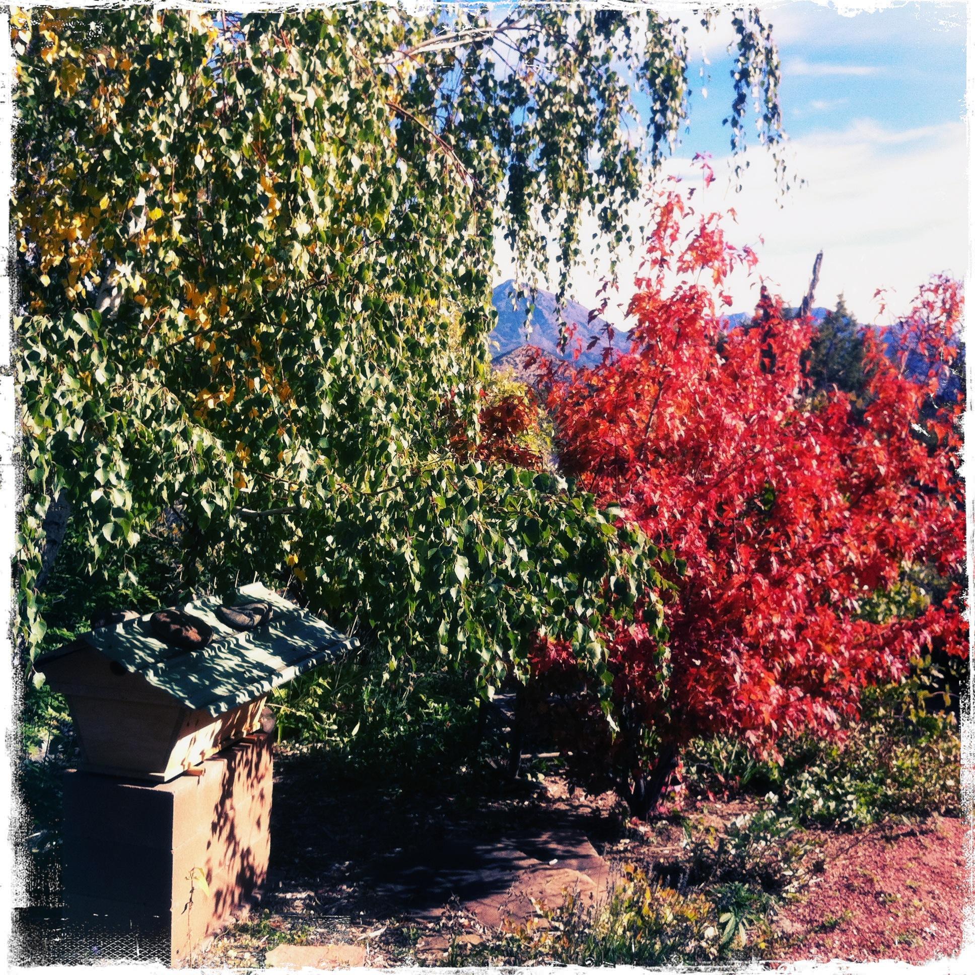 October 2, the Amur maple in full scarlet splendor, the birch tree still green.