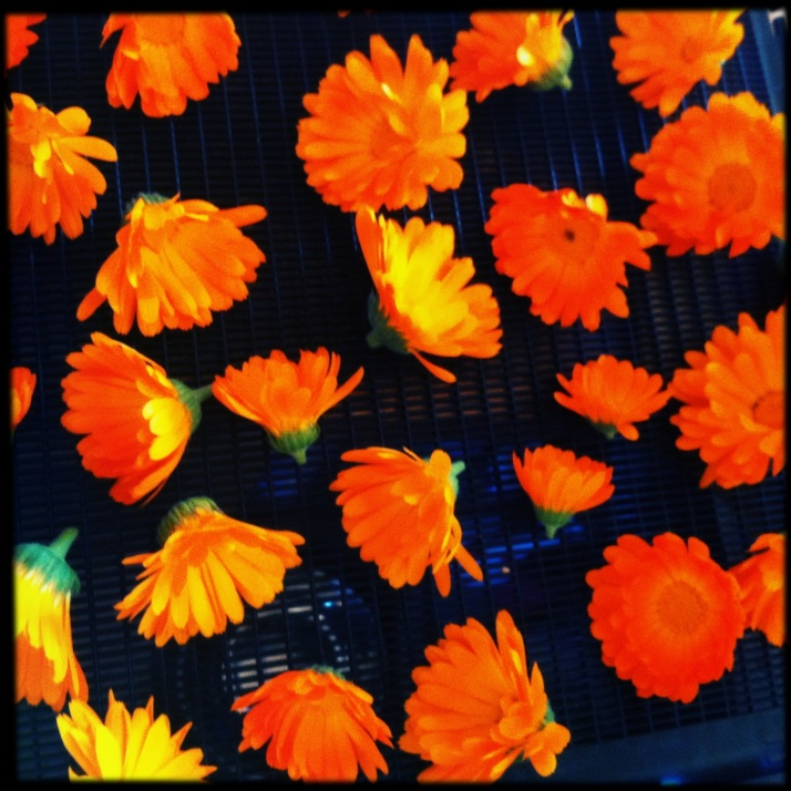 A bountiful calendula patch, thanks to Katrina's snipping of heads early in the season. What seemed brutal at the time resulted in a lush display later, a bright spot in the yard that makes me smile whenever I catch a glimpse in passing. These blooms are drying for tea.
