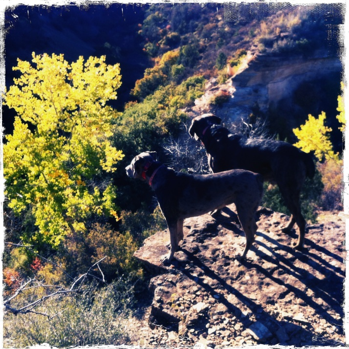 October 6, morning walk to the rim of Buck Canyon with Raven and Stellar. The cottonwoods are beginning to peak and the oaks are still green.