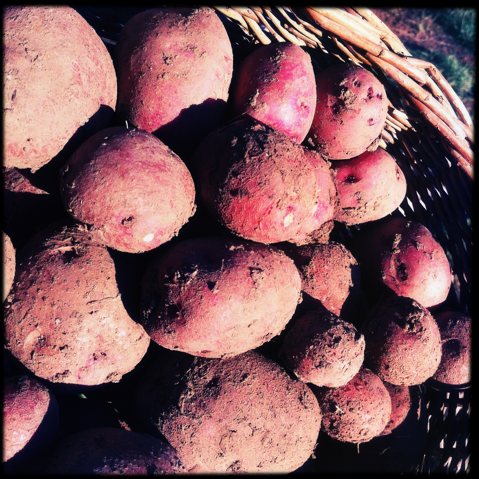 Second harvest of Sangre de Cristo potatoes yields abundant spuds. Allegedly good keepers, we'll see.