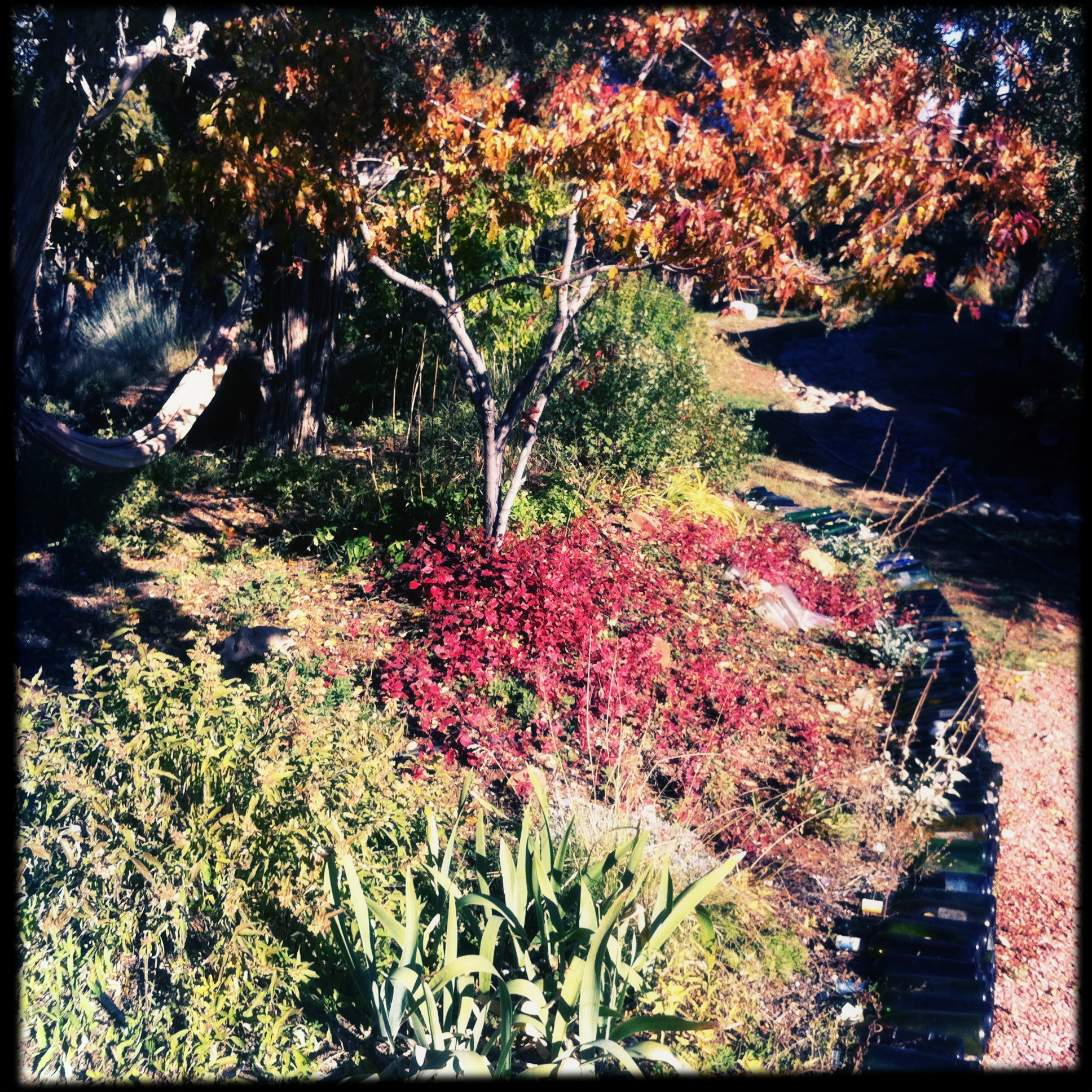October 13, the Wall of Inebriation holds back the flow of color from the berm, notably burgundy hardy plumbago, and another Amur maple. This one never has gone scarlet, but tends toward orange.