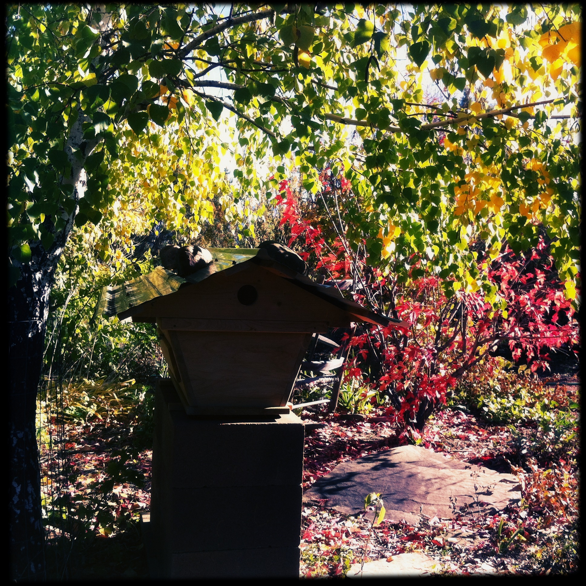 October 13, the maple in the bee bed has lost half its leaves, as the birch begins to turn yellow.