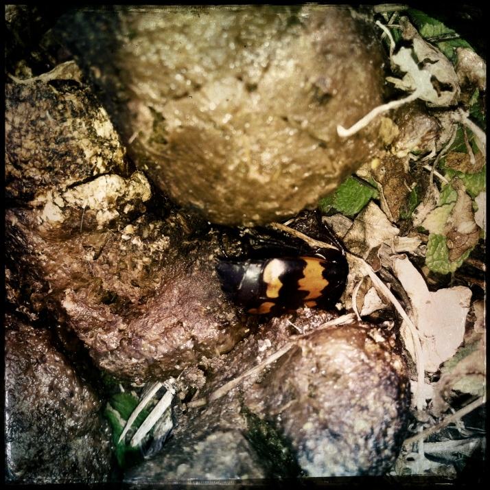 Picking up poo in the yard a couple of times a week is a quiet meditation that I actually enjoy. More about that some other time. Here, a colorful surprise, Nicrophorus marginatus, a burying beetle; I left that load for later.
