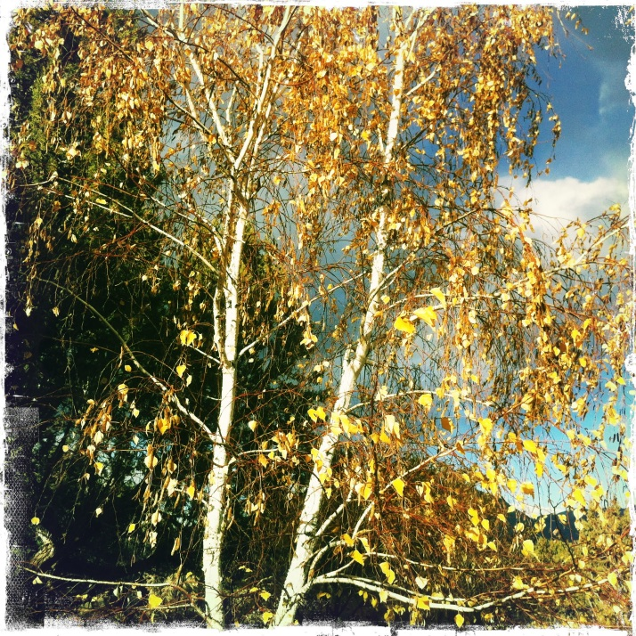 October 28, the day the birch tree lost its leaves.