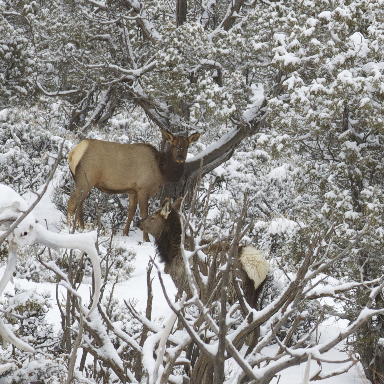 Elk browse the junipers and winterfat right outside the yard fence.