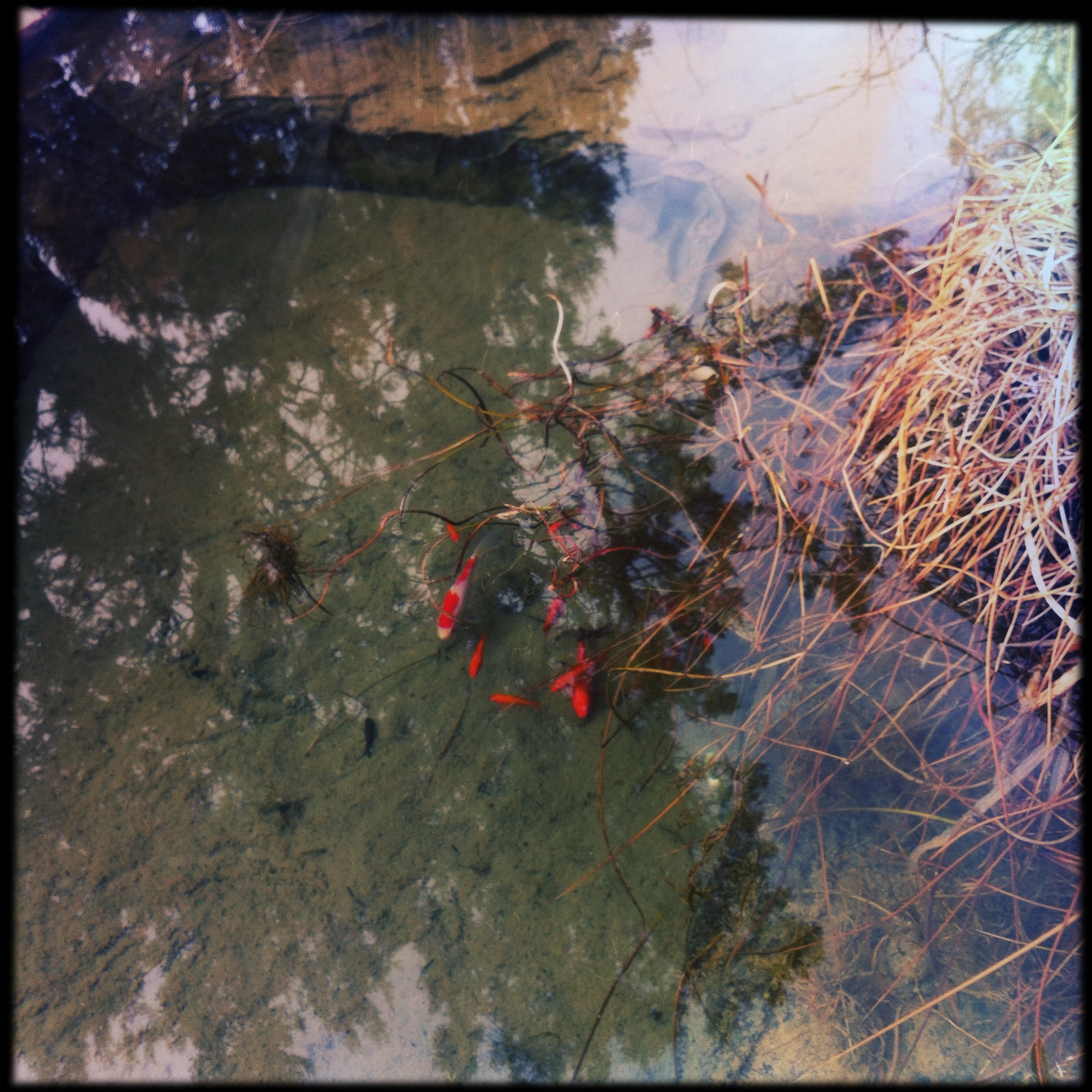 Suddenly this week the pond has thawed, revealing goldfish still thriving underneath. Amy the Fish still lives! She and her three surviving cohorts are at least four, maybe five years old, and have filled the pond with their progeny.