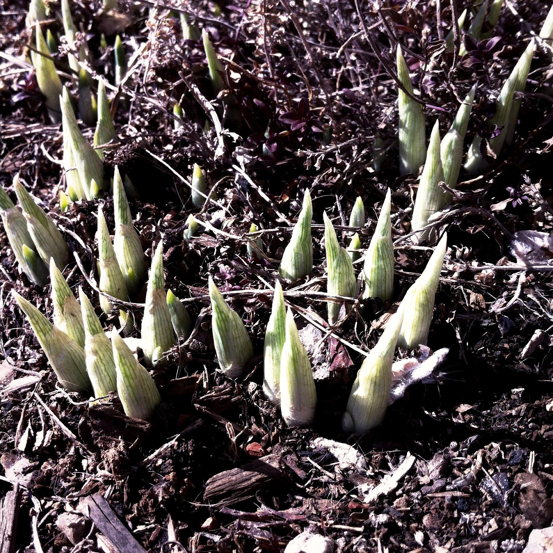 Miniature daffodil poking up despite last night's frigid temperature.