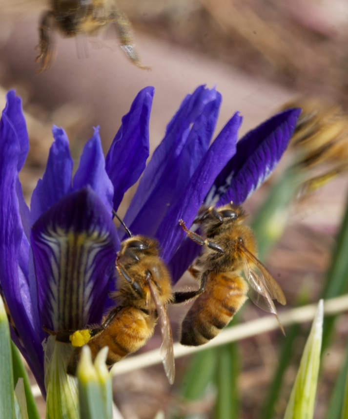 As more bees emerge from the hive, it seems competition for the hottest flower increases. At one point today there were five bees on one blue iris. I had the speed too slow to get them all in focus, but caught four at once, though barely.