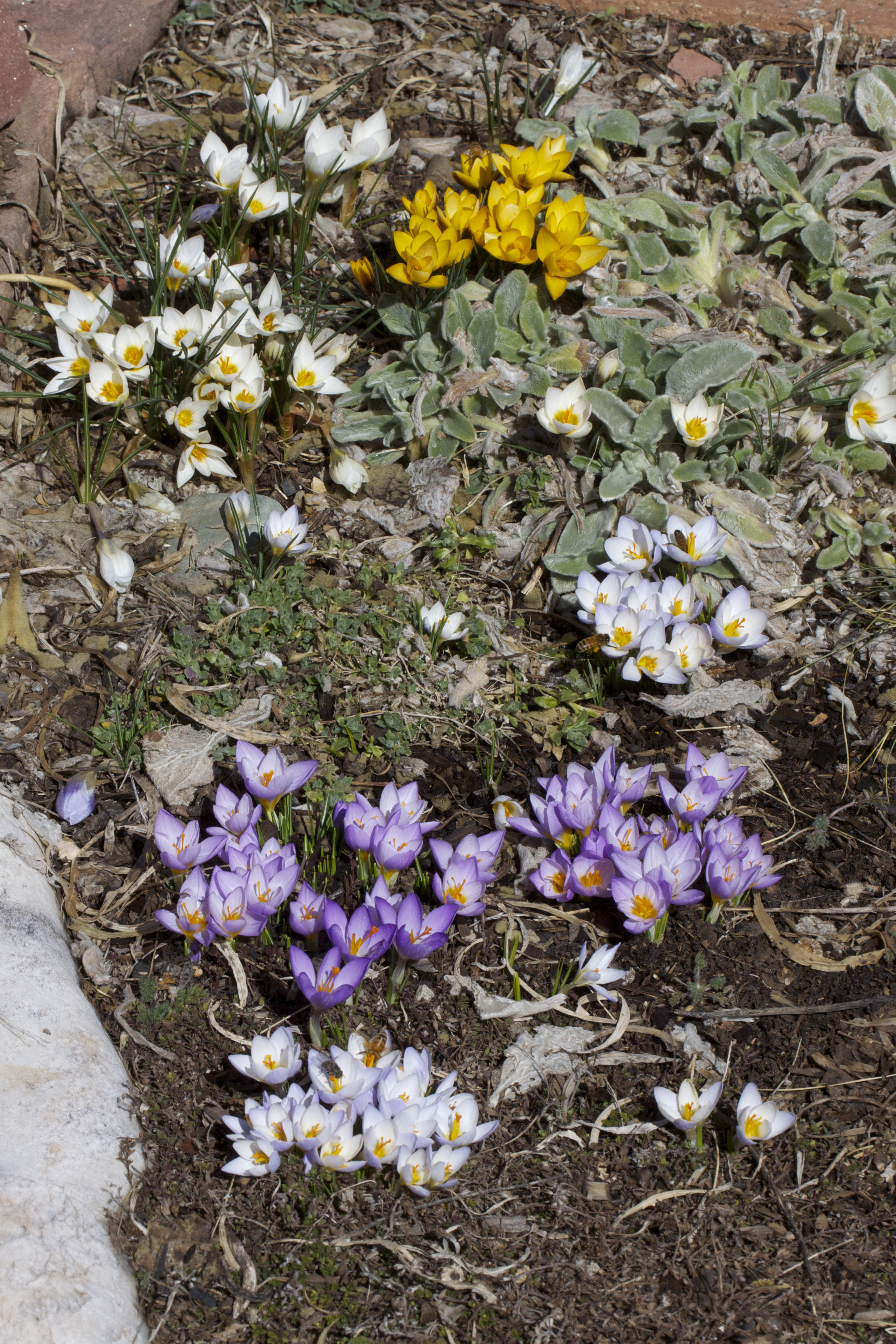 The first crocus patch to bloom, at its peak last week.