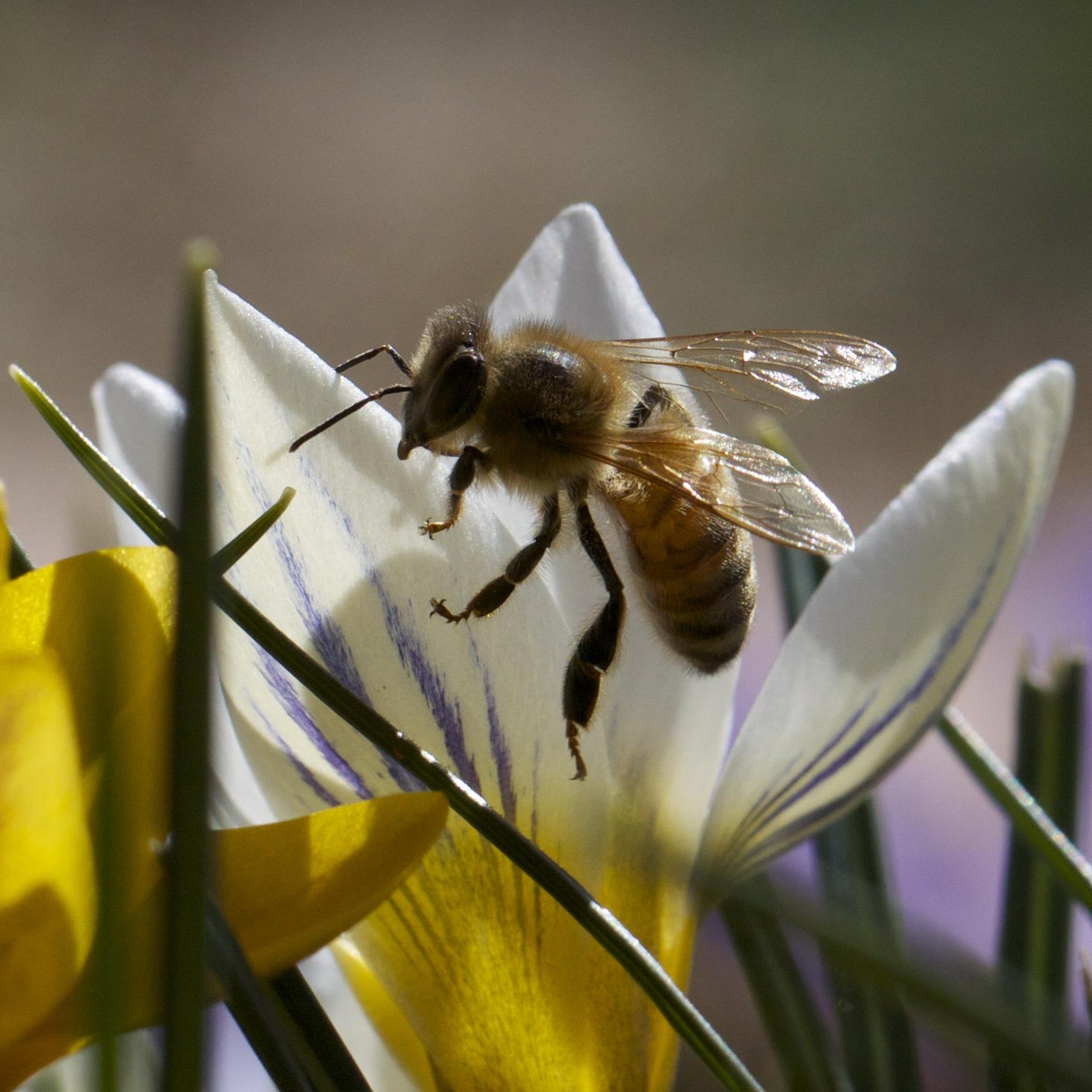 New Bee in the crocuses.