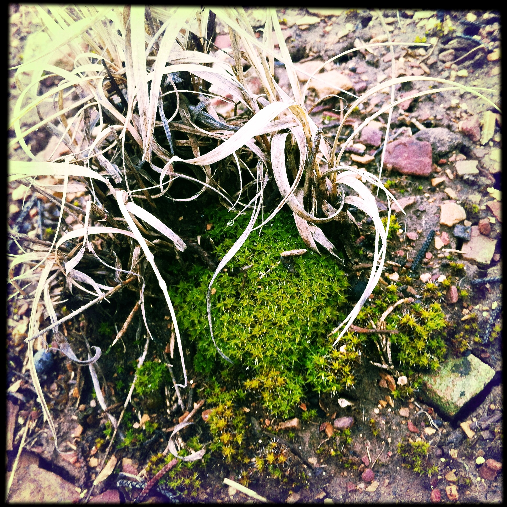 A small patch of moss at the base of a little galleta grass.