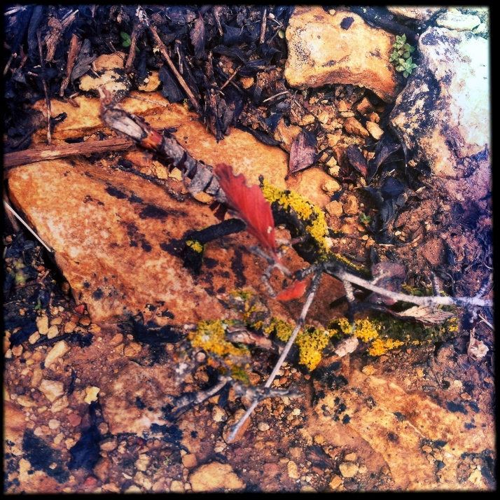 A broken twig from mountain mahogany, itself covered in lichens with one last autumn leaf.
