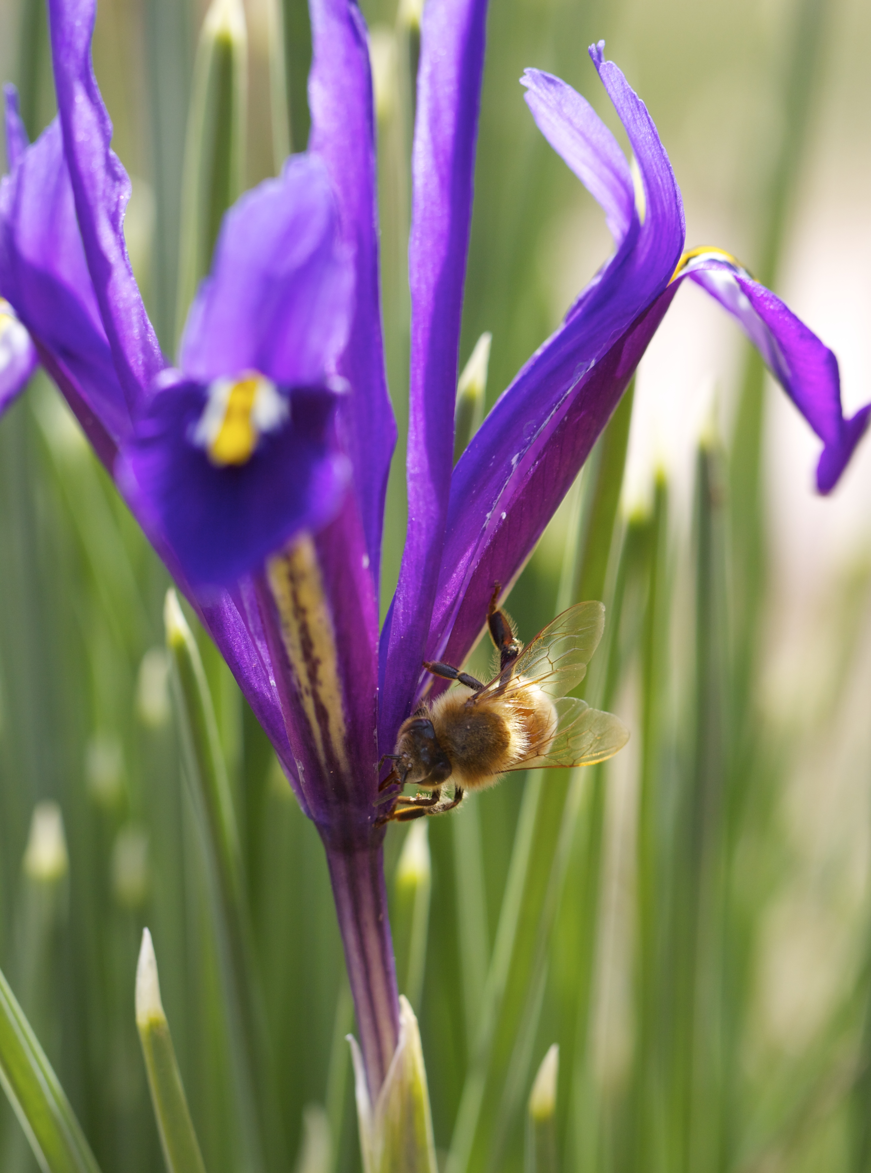 But where are they going? Several new patches of irises have opened, but bee visits to them have tapered off. This bee is drinking from between flowers on the narrow-leaved irises, the last of the four varieties to open.