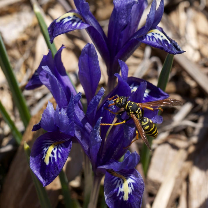 As the little irises start to fade and their leaves to grow long, the honeybees have left them to the wasps.