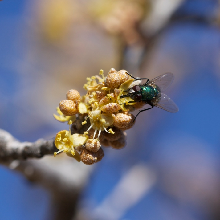Also a greenbottle fly...