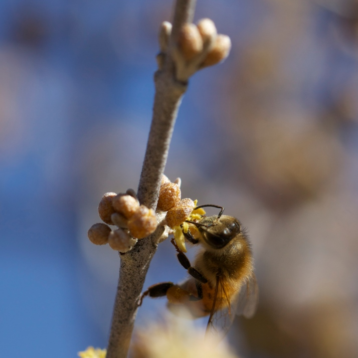 See how this bud is half open and PollenFace bee seems to be probing inside the flower before it's fully open?