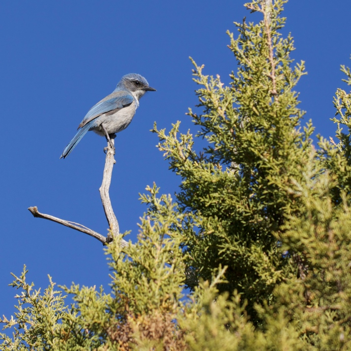 Something about this western scrub jay makes me think it's a recent hatching, which with our relatively mild late winter this year seems possible.