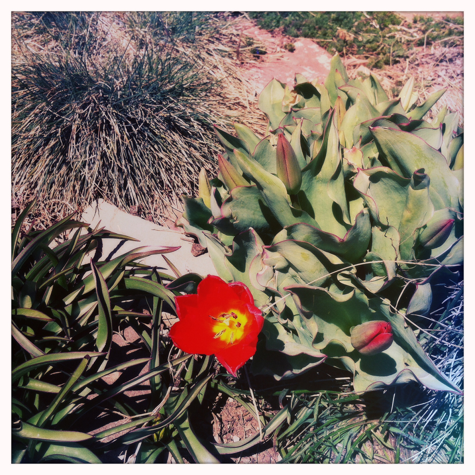 Tall coral tulips have been cross-pollinated with the splashy red short ones to produce a unique hybrid.
