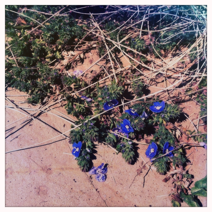 Blooming Veronica creeps across a sandstone slab.
